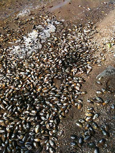 A shellfish kill on Assawompsett Pond