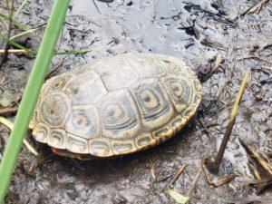 terrapin (turtle)